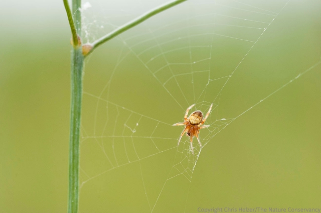 Spider on web on switchgrass. Valentine National Wildlife Refuge, Nebraska.