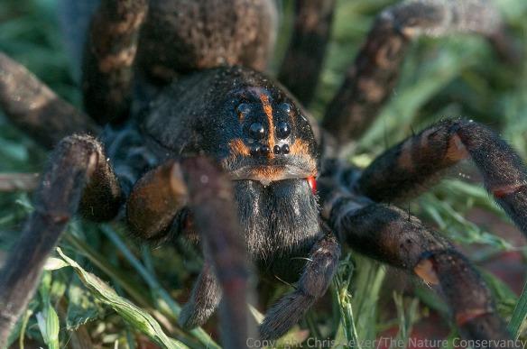 Big wolf spider. Aurora, Nebraska.