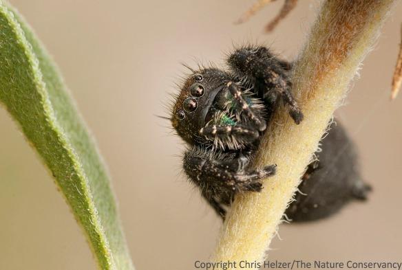 Big jumping spider on Maximilian sunflower. TNC Platte River Prairies, Nebraska.