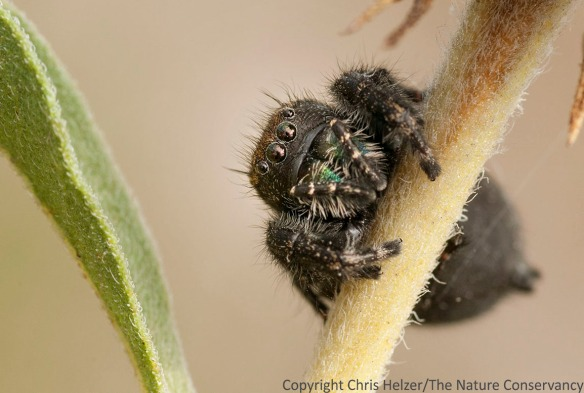 Big jumping spider on Maximilian sunflower. TNC Platte River Prairies, Nebraska.