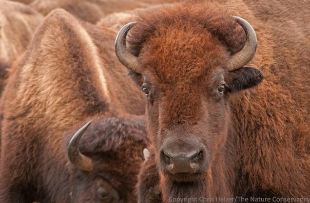 Bison roundup at TNC Niobrara Valley Preserve. Nebraska.