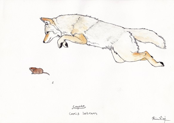 Another great coyote illustration by Kim Tri.
