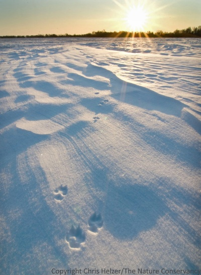 Ideally, seeing coyote tracks on their property would be a positive experience for landowners.
