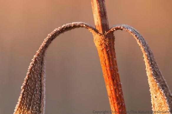 Stiff sunflower with frost. Lincoln Creek Prairie, Aurora, Nebraska.