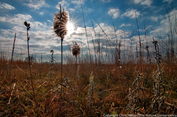 Sun coming through dotted gayfeather in autumn prairie. Helzer prairie, near Stockham, Nebraska.