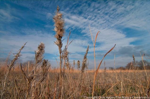 Dotted gayfeather in autumn prairie. Helzer prairie, near Stockham, Nebraska.