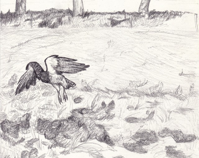 A Swainson's hawk takes flight from a disked field. (Yes, the ground does look that messy) Graphite drawing by Kim Tri