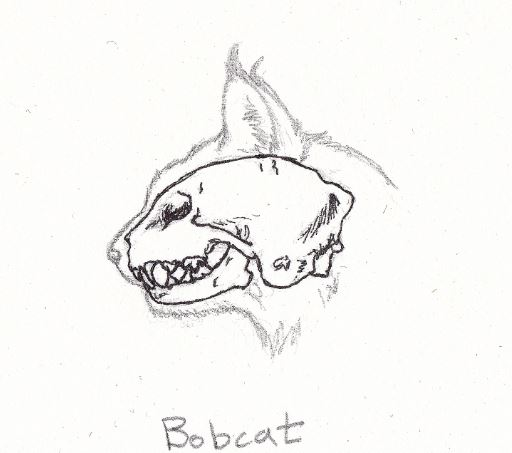 bobcatteeth