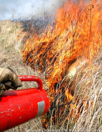 Prescribed fire, along the grazing and mowing, are important ways for prairie managers to introduce disturbances into grasslands in order to maintain prairie health and biological diversity.