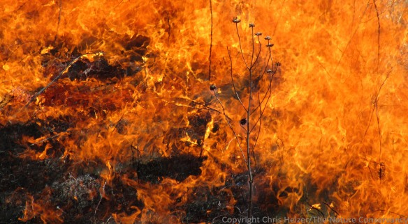 Fire is one of the big three historical disturbances to which prairies are adapted to and rely on.