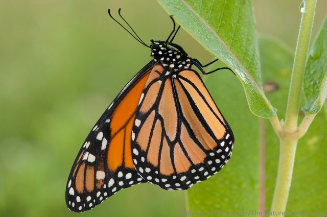 Monarch butterfly on common milkweed. TNC Bluestem Prairie, Minnesota.