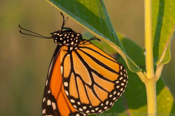 Monarch butterfly on common milkweed. TNC Bluestem Prairie, Minnesota.