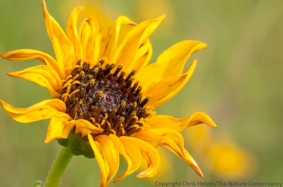 Stiff sunflower (Helianthus pauciflorus) Lincoln Creek Prairie, Aurora, Nebraska.