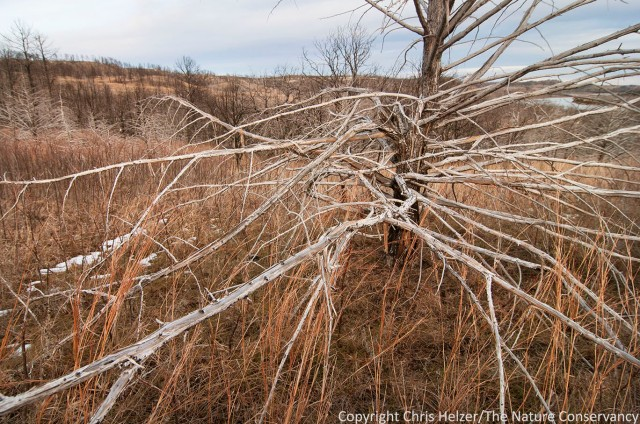 Eastern red cedar skeleton in 2012 wildfire area at the Niobrara Valley Preserve, Nebraska.