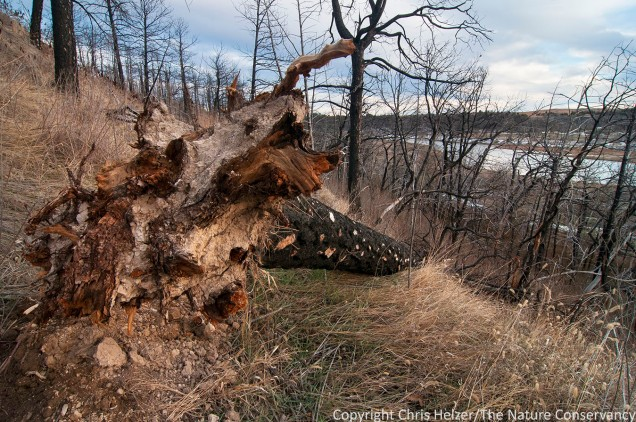 fallen ponderosa pine in 2012 wildfire area at TNC's Niobrara Valley Preserve, Nebraska.