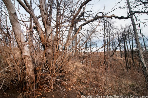 Bur oak with resprouts in 2012 wildfire area at TNC's Niobrara Valley Preserve, Nebraska.
