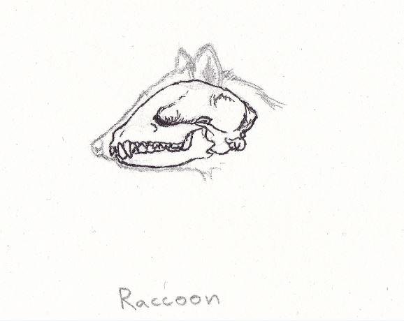raccoonteeth