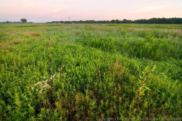 East Dahms pasture. Ragweed in degraded pasture.
