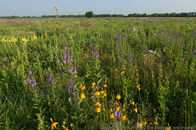 """These """"weedy"""" species are filling in while grasses recover from a grazing bout. In the meantime, the hoary vervain (purple) and upright coneflower (yellow) are providing important pollinator resources and great habitat for other species, including insects, reptiles, and birds like northern bobwhite."""