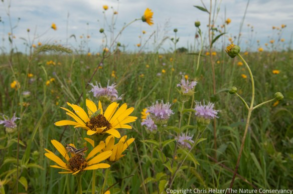 Wildflowers and grasshoppers.  TNC Platte River Prairies.