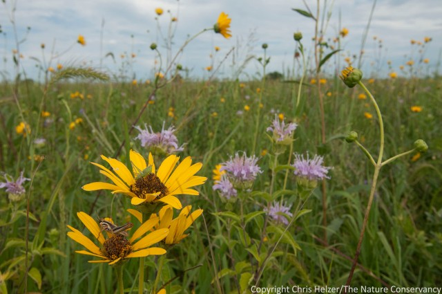 Wildflowers and grasshoppers.  TNC Platte River Prairies.