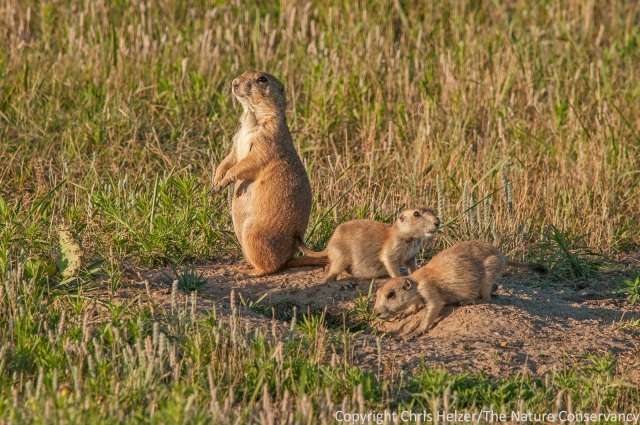 Black-tailed prairie dog pups. TNC Niobrara Valley Preserve, Nebraska.