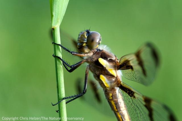Dragonfly in Pawnee County, Nebraska