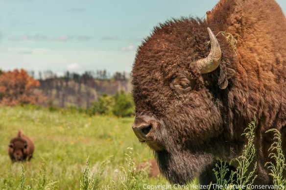 Bison at The Nature Conservancy's Niobrara Valley Preserve - Nebraska.