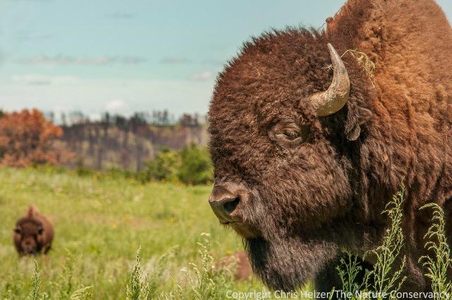 Bison at The Nature Conservancy's Niobrara Valley Preserve - Nebraska.