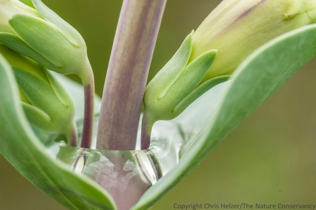 Shell leaf penstemon and rainwater. Niobrara Valley Preserve, Nebraska.