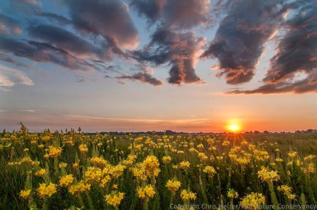 Four-point evening primrose (Oenothera rhombipetala) and sunrise in sand prairie at The Nature Conservancy's Platte River Prairies, Nebraska.